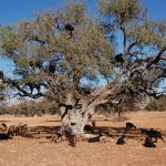 argan tree agadir